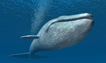 La ballena blanca y sin rostro